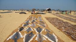 Sušení žraločích kůží / Shark skins drying
