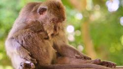 chrnící opicos / sleeping monkey