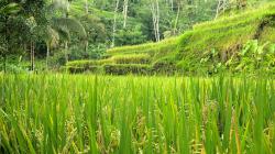 rýžová pole / rice fields