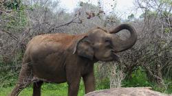 Slon v NP Yala / Elephant in Yala NP
