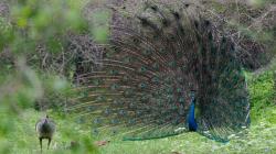 Paví námluvý / Peacock's curtship